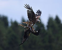 Red Kites scrapping